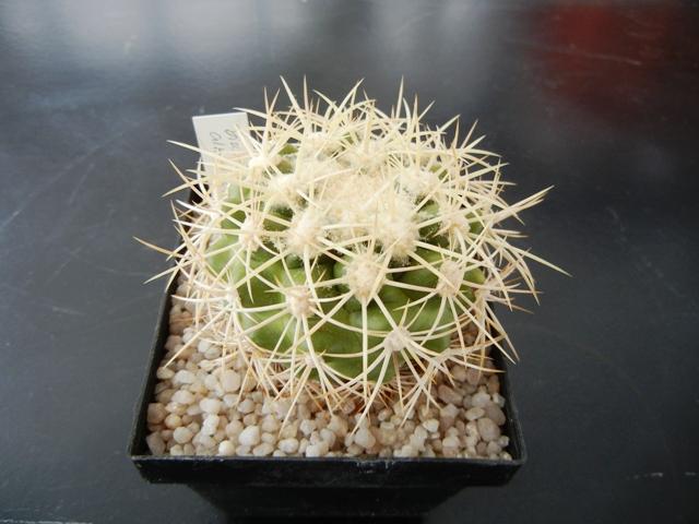 Discocactus albispinus 010xh410