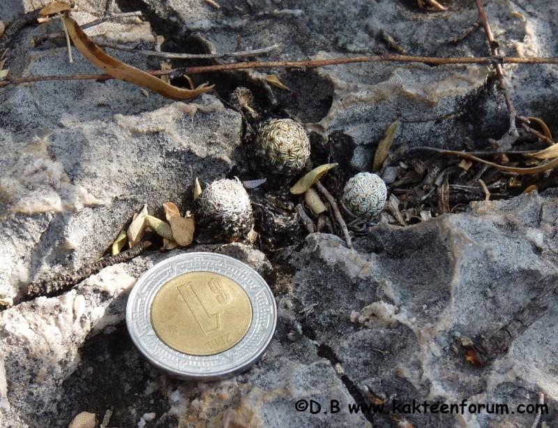 Turbinicarpus pseudomacrochele var. sphacellatus 07010