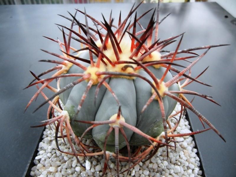 Echinocactus horizonthalonius Dscn1410