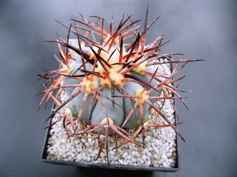 Echinocactus horizonthalonius Dscn1411