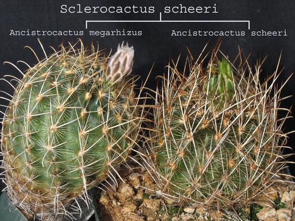 Ancistrocactus scheeri S_sche12