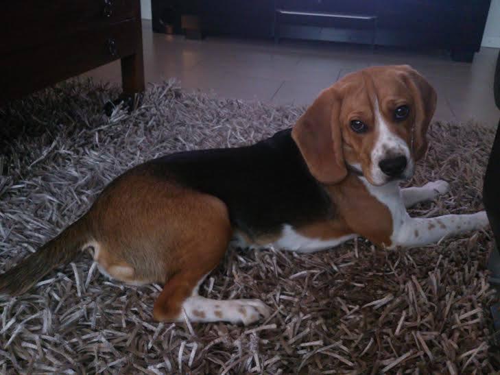 URGENT beagle mâle 1 an risque SPA 10807810