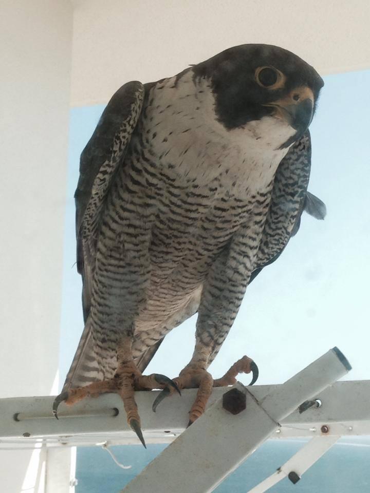 Robyn Hills Falcons 2013 tot en met 2020 - Pagina 3 10734210