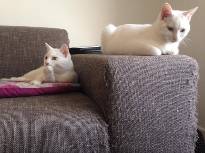 adoptés jefferson et johnny 4mois  chatons blanc 06 19626810