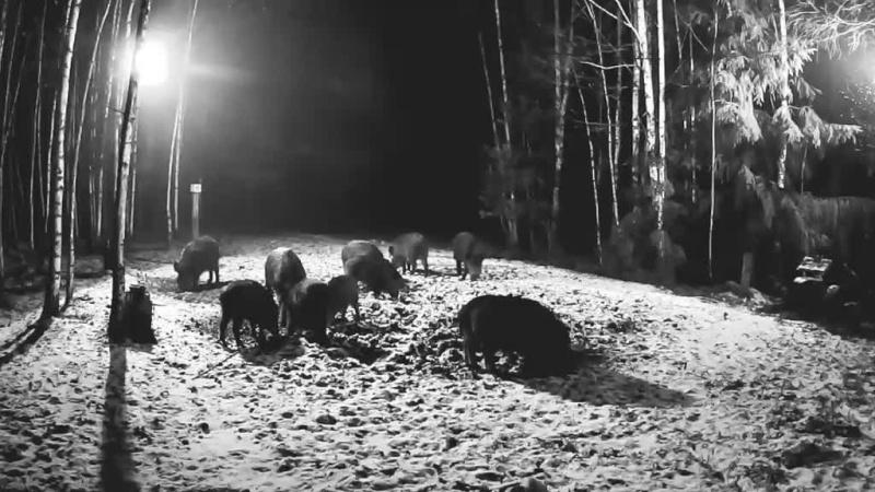Boar cam Winter 2014-2015 Vlcsna23