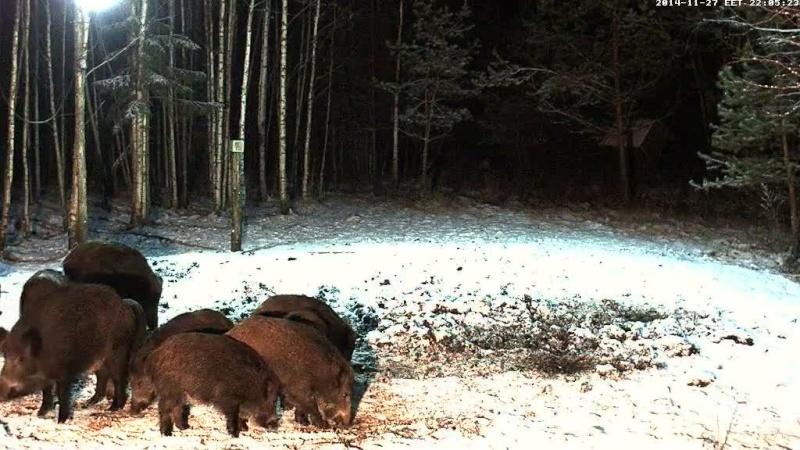 Boar cam Winter 2014-2015 Vlcsna28