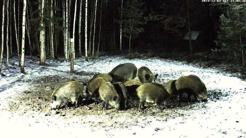 Boar cam Winter 2014-2015 - Page 2 Vlcsna42