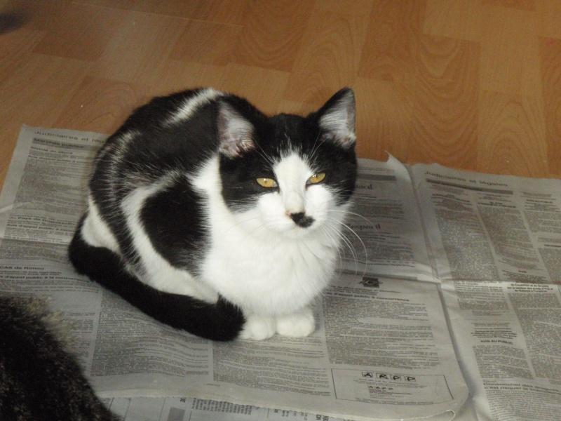 Jinko, mâle type européen gris et blanc né le 01/06/2014 Pb160516