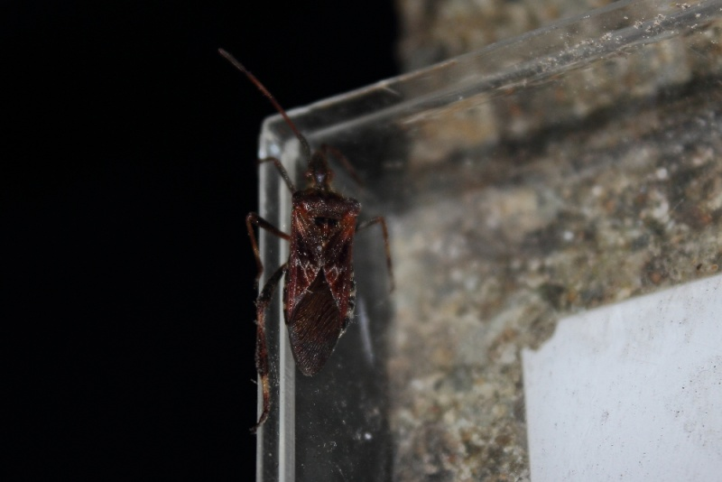 Leptoglossus occidentalis (punaise invasive américaine) Img_3114