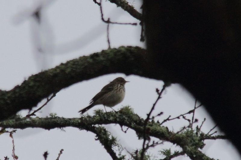 pipit ? Img_3210