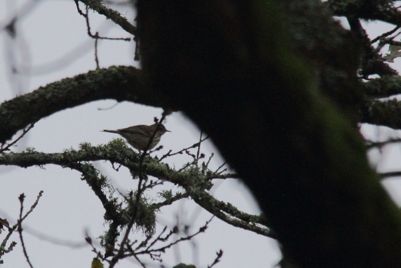 pipit ? Img_3211