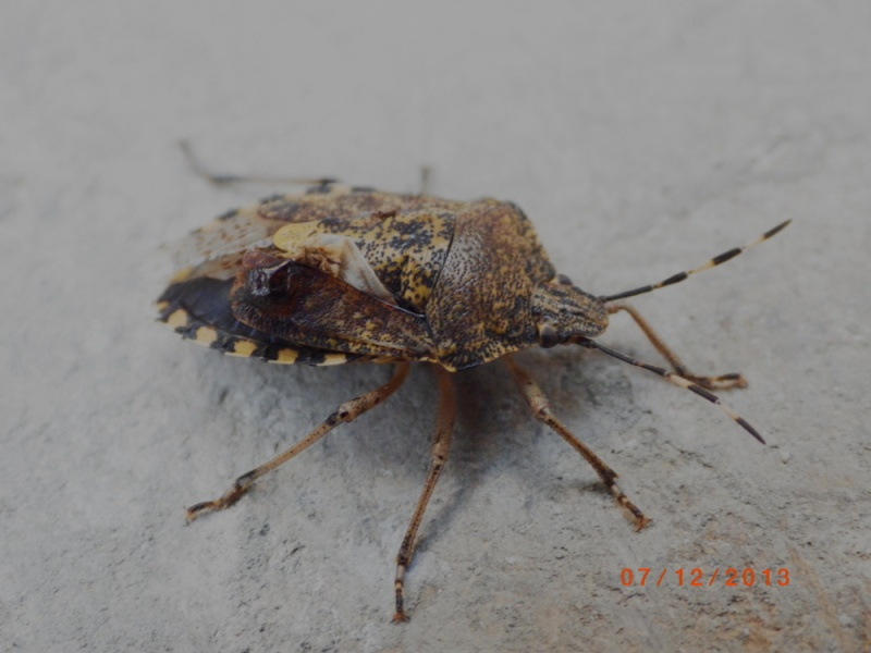 Rhaphigaster nebulosa ? Imgp9312