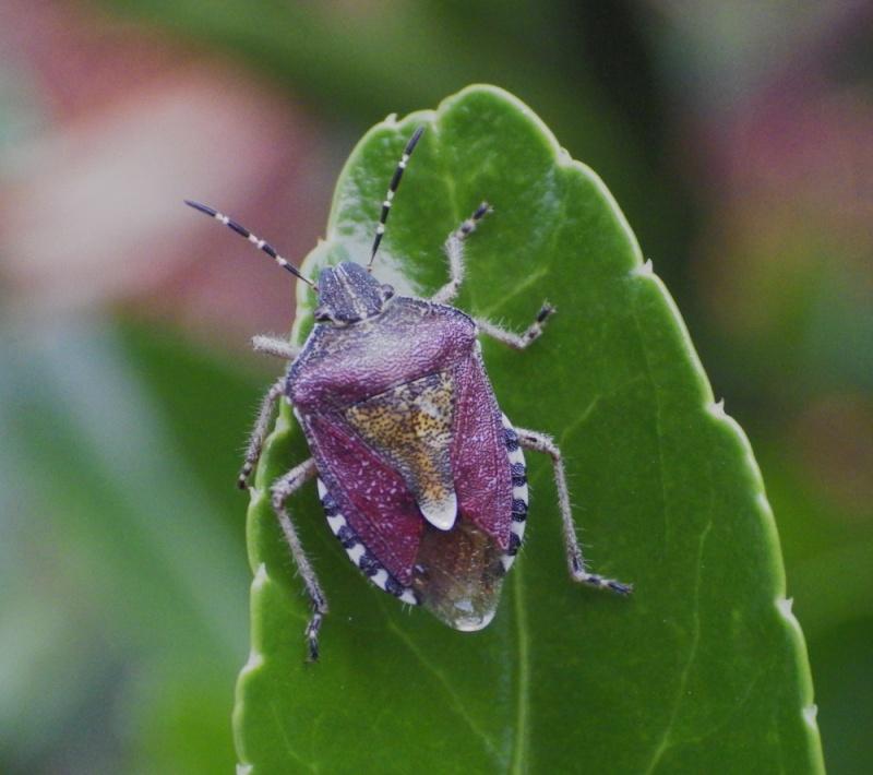 Dolycoris baccarum Punais10