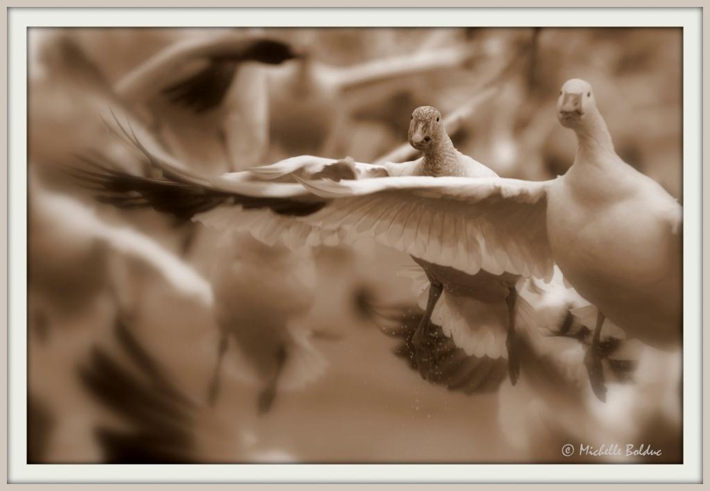 Oies - essai en Sépia + MERCI pour les informations recueillies sur les oies!! Img_8110
