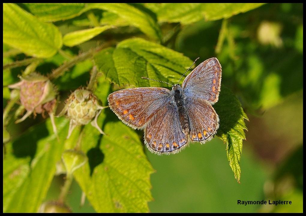 Bleu nordique Dsc_1511