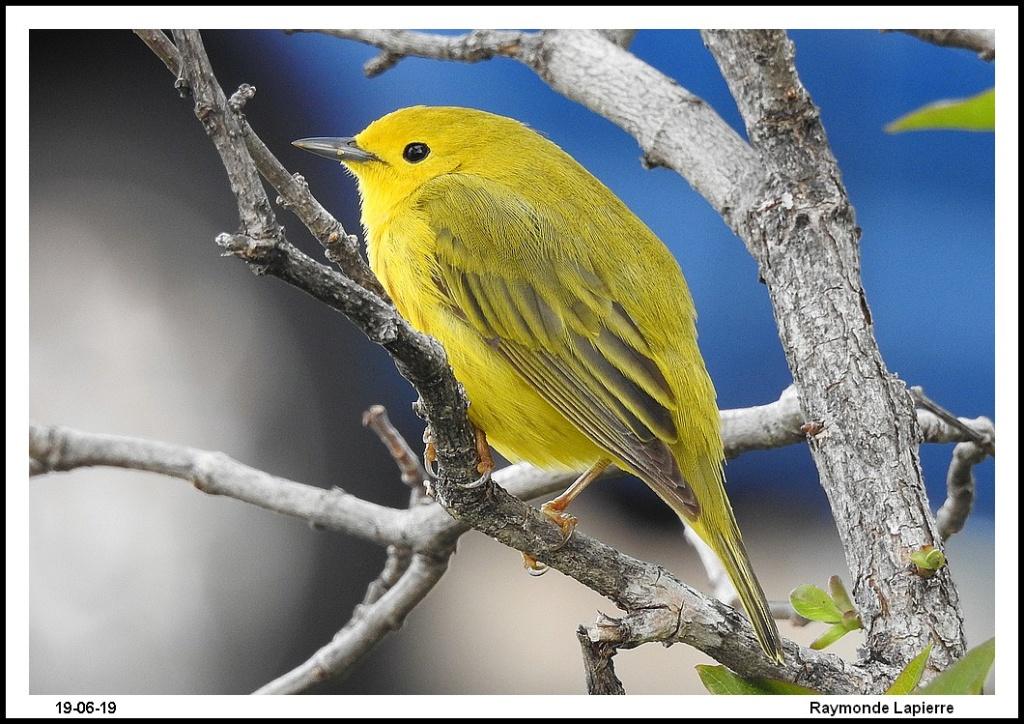 Paruline jaune Dscn1311