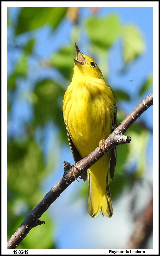 Paruline jaune Dscn1312