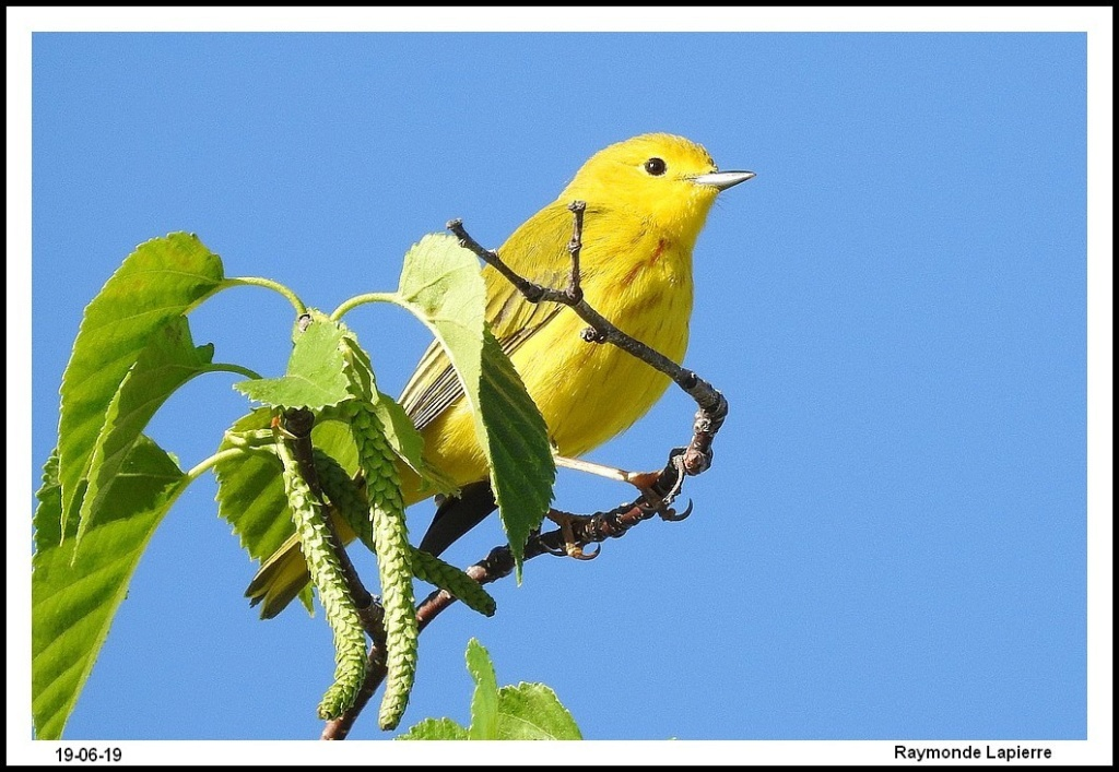 Paruline jaune Dscn1313