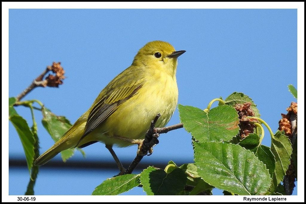 Paruline jaune femelle Dscn1410