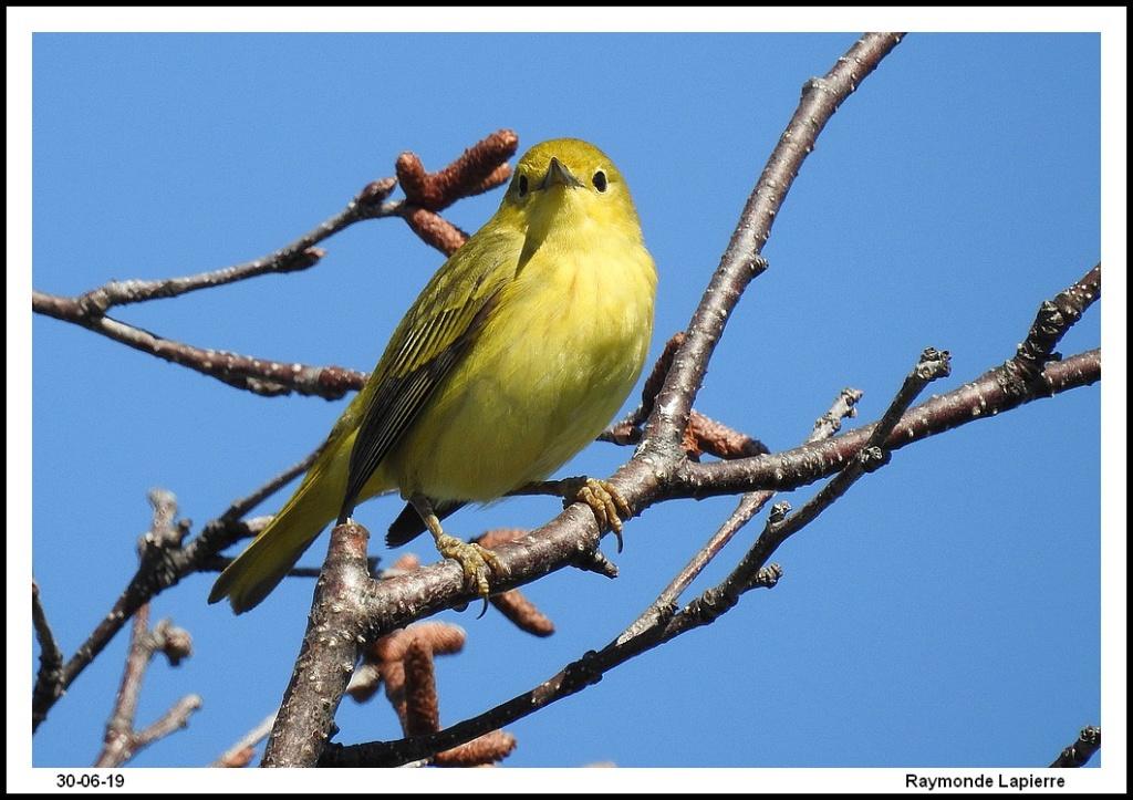 Paruline jaune femelle Dscn1411