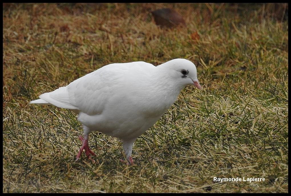 Pigeon biset blanc Dscn8713