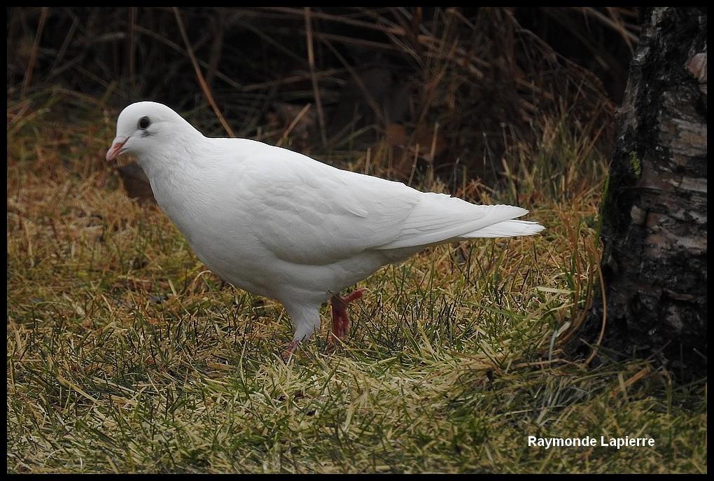 Pigeon biset blanc Dscn8714