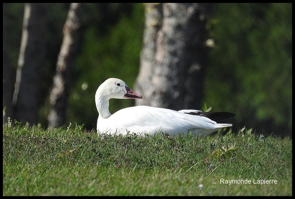 Oie blanche Dscn9412