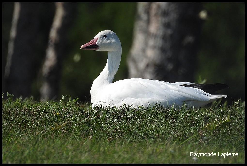 Oie blanche Dscn9413