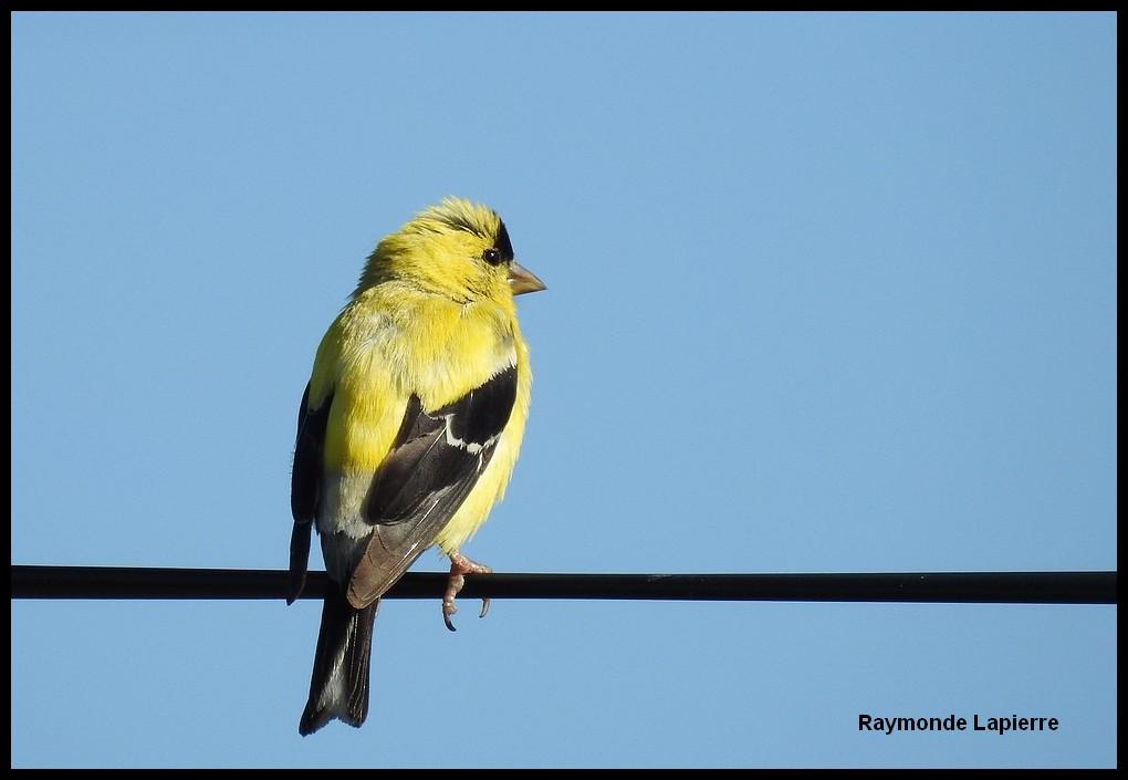 Chardonneret jaune mâle Dscn9510