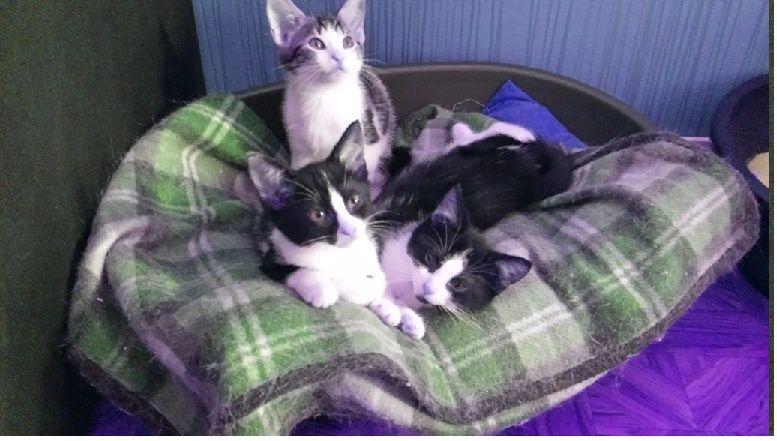 Les chats et chatons que je propose à l'adoption(sous asso) - Page 2 Triple10