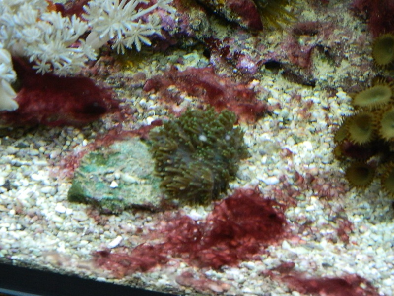 Algues rouges Dscn1510