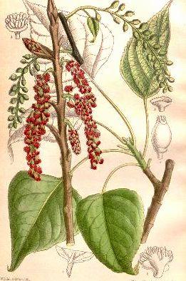 Populus nigra - peuplier noir - variétés, cultivars Populu10