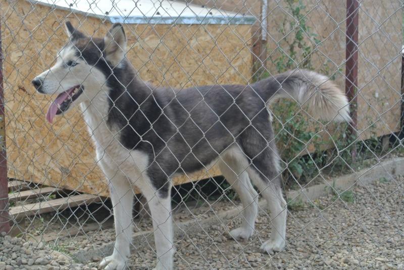 LUNA Husky 4/5 ANS pas ok chien URGENCE ROUMANIE  ADOPTEE 10669010