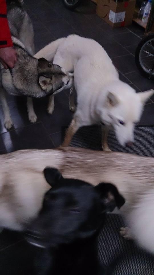 Balto type Husky ok chiens chats enfants ASSO46 ADOPTE 10857910