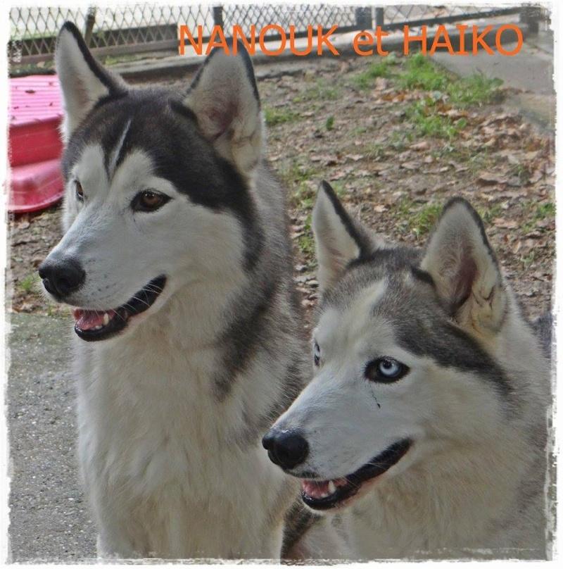 HAIKO male Husky et NANOUK femelle husky ,stérilisée, REFU17 19667210