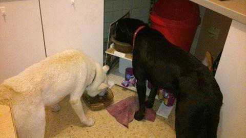 Balto type Husky ok chiens chats enfants ASSO46 ADOPTE 500_0410
