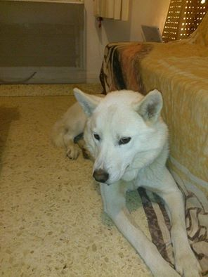Balto type Husky ok chiens chats enfants ASSO46 ADOPTE 500_5e10