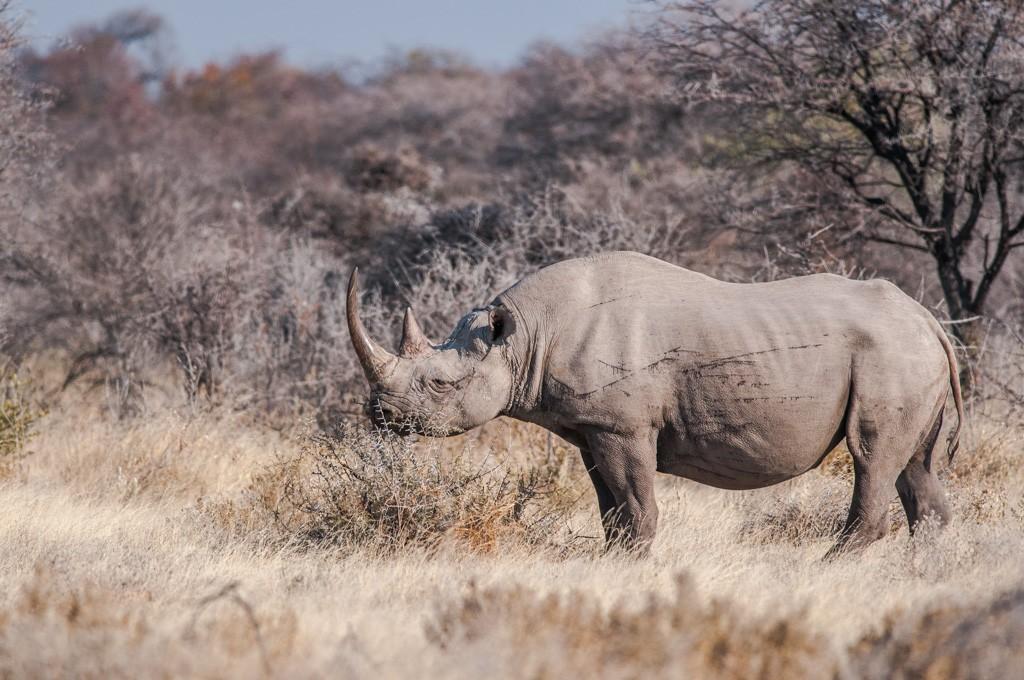 Rhinoceros noir _dsc6310