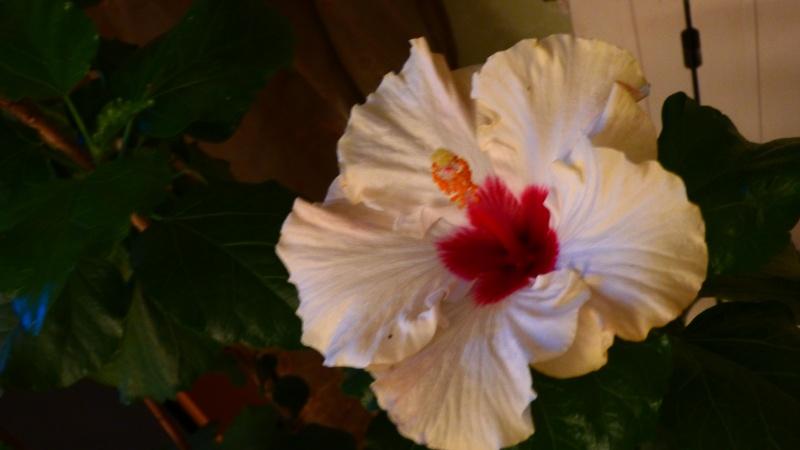 mon hibiscus sur tige P1050116