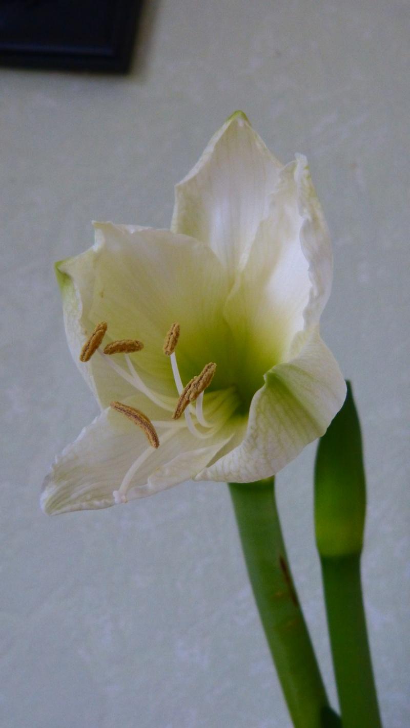 Amaryllis P1050119