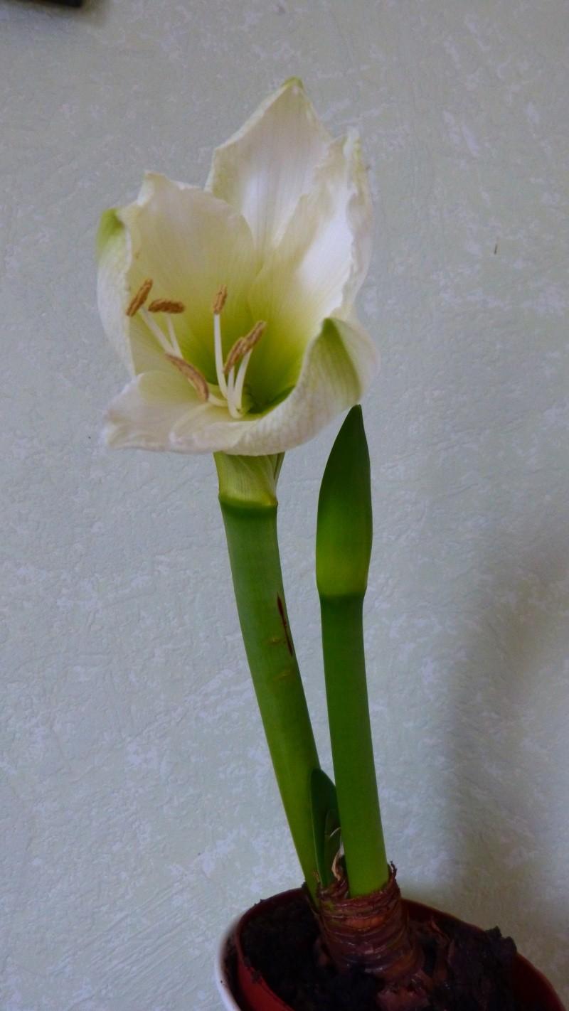 Amaryllis P1050120