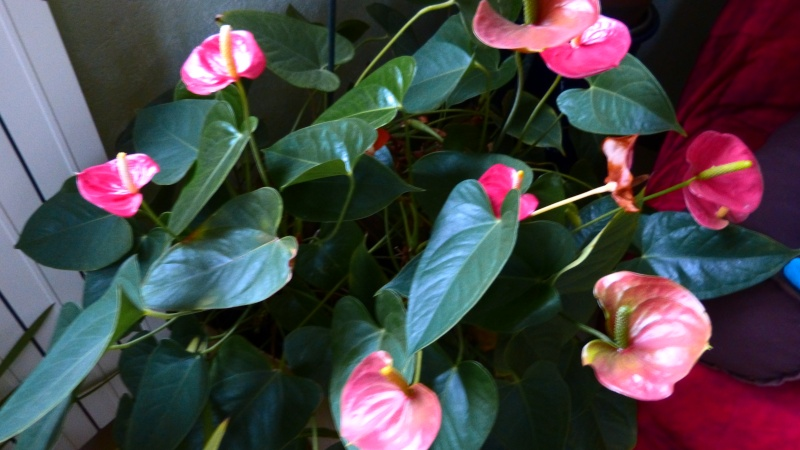 mes anthuriums  en fleur P1050210