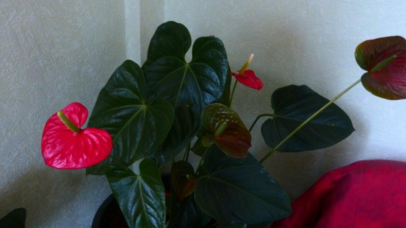 mes anthuriums  en fleur P1050211