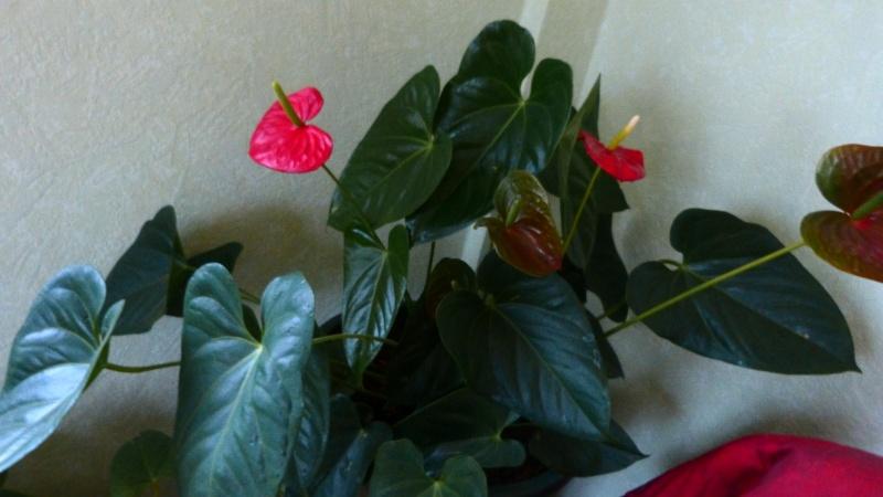 mes anthuriums  en fleur P1050212