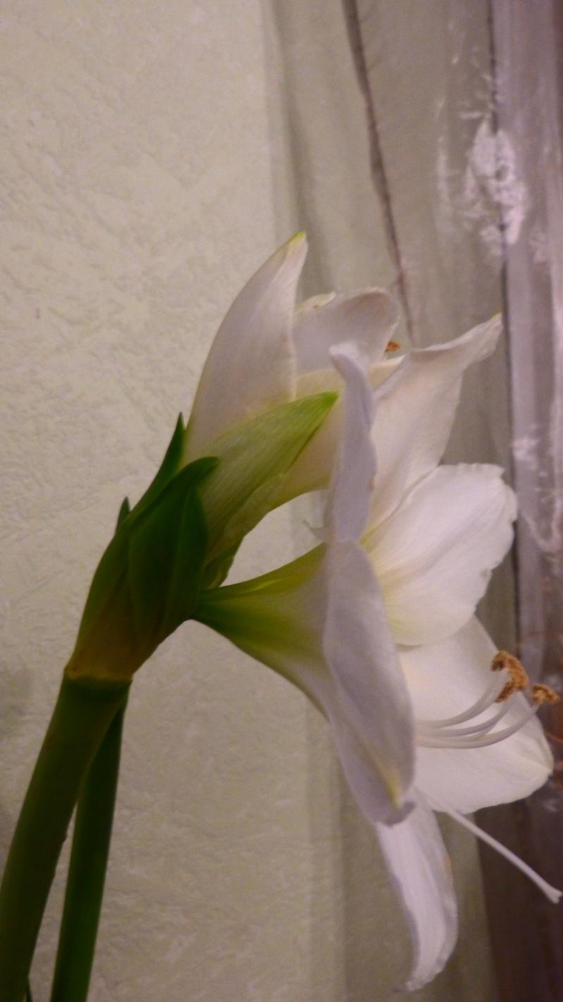 Amaryllis P1050215