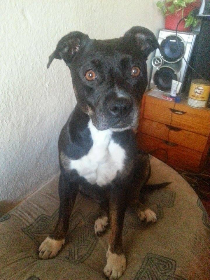 chien staffie volé à grenoble 10689910