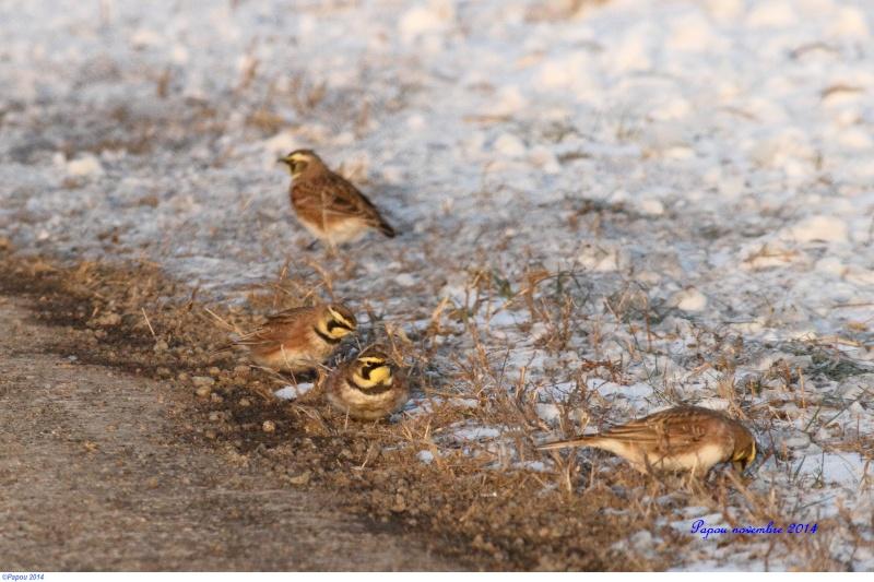 Oiseaux d'hiver Papou_19