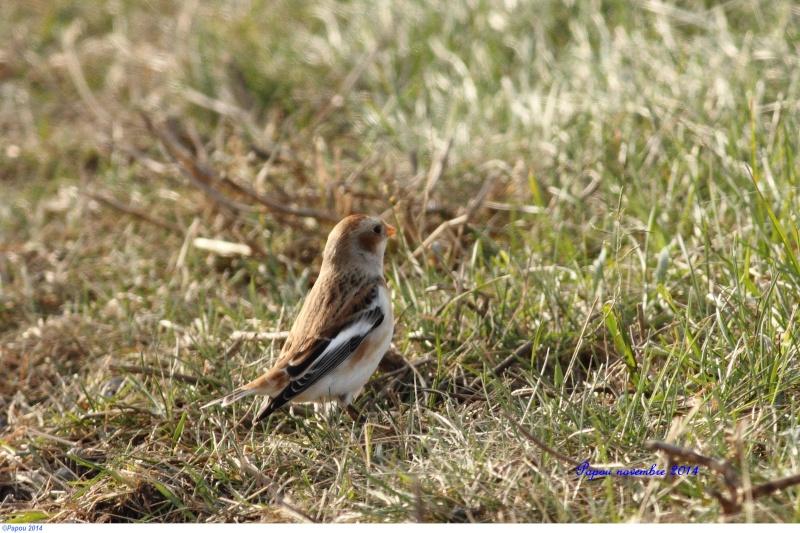Oiseaux d'hiver Papou_20