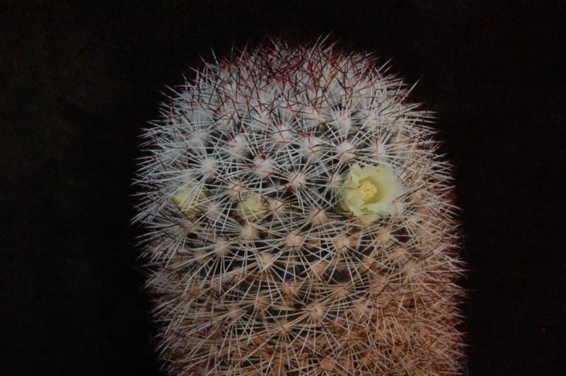 Mammillaria buxbaumeriana -enzoc10