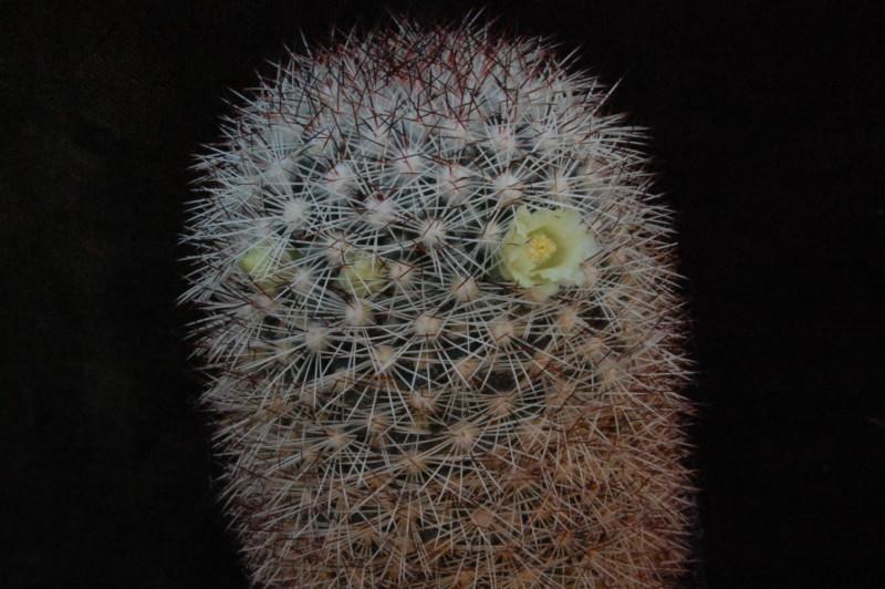 Mammillaria buxbaumeriana -enzoc12